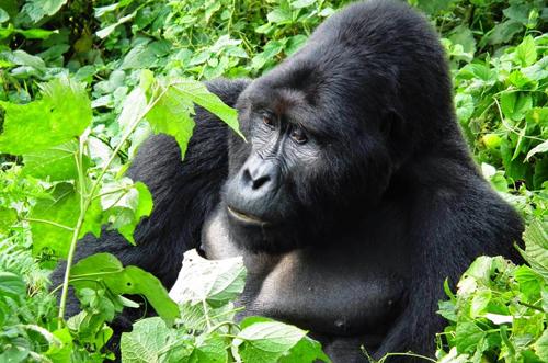 uganda-silverbackgorilla