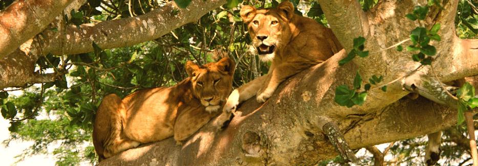 queen-lions