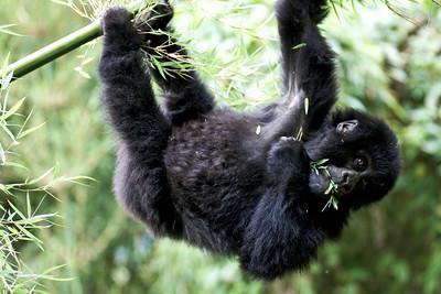 gorillas-8409-s