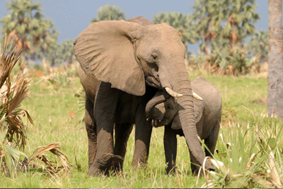 Uganda-elephants-Queen-Elizabeth NP