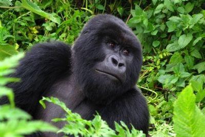 gorilla-tracking-in-rwanda