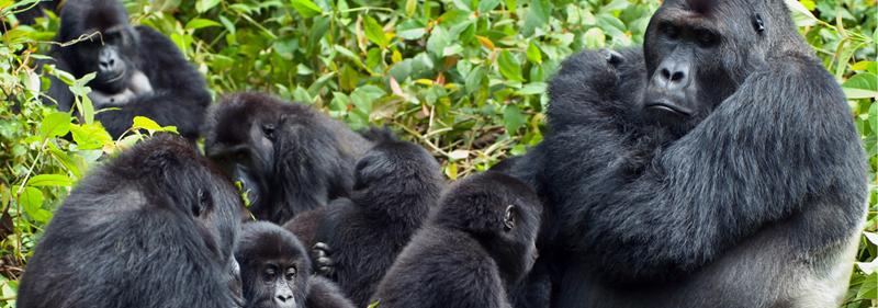gorillafamily-1